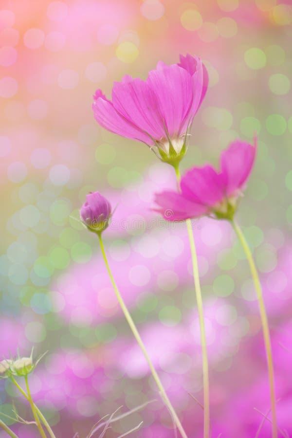 Fond rose de fleur de cosmos avec le bokeh photographie stock