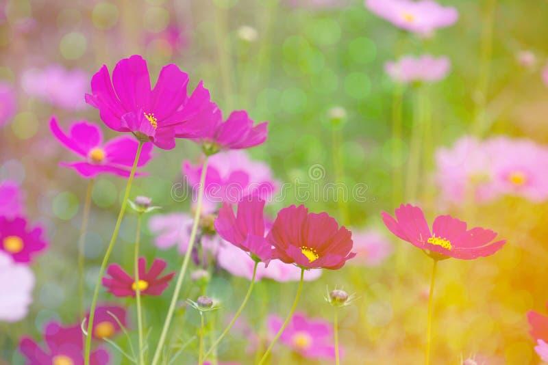 Fond rose de fleur de cosmos avec le bokeh photo stock