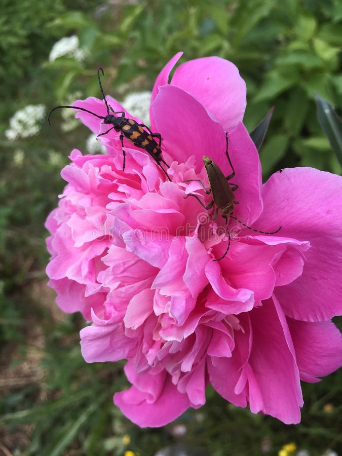 Fond rose pelucheux de fleurs de pivoines avec des abeilles photo stock