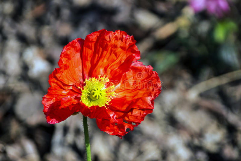 Fond rouge de FFowering Islande Poppy Flower On Blurred photo libre de droits
