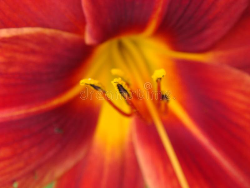 Fond rouge de fleurs de lis, foyer s?lectif mou Pleine floraison du lis asiatique rouge-fonc? dans le jardin d'agr?ment d'?t? rou photographie stock