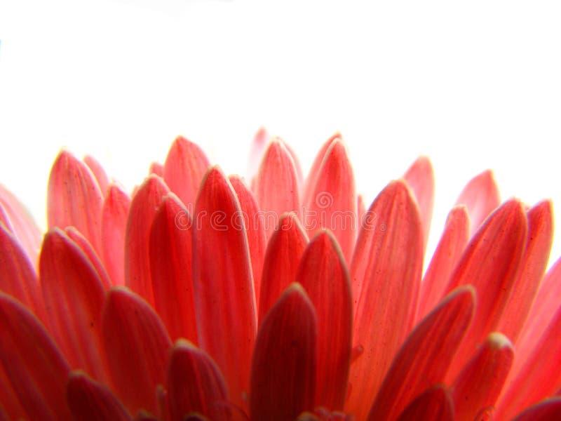 Fond rouge de pétales photographie stock libre de droits