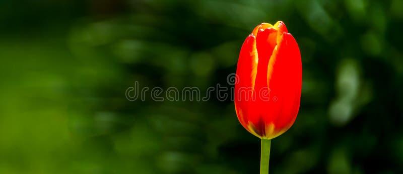Fond rouge de vert de tulipe de bannière panoramique photo stock