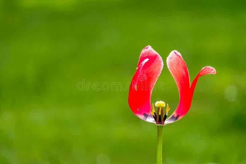 Fond rouge de vert de tulipe de bannière panoramique images libres de droits