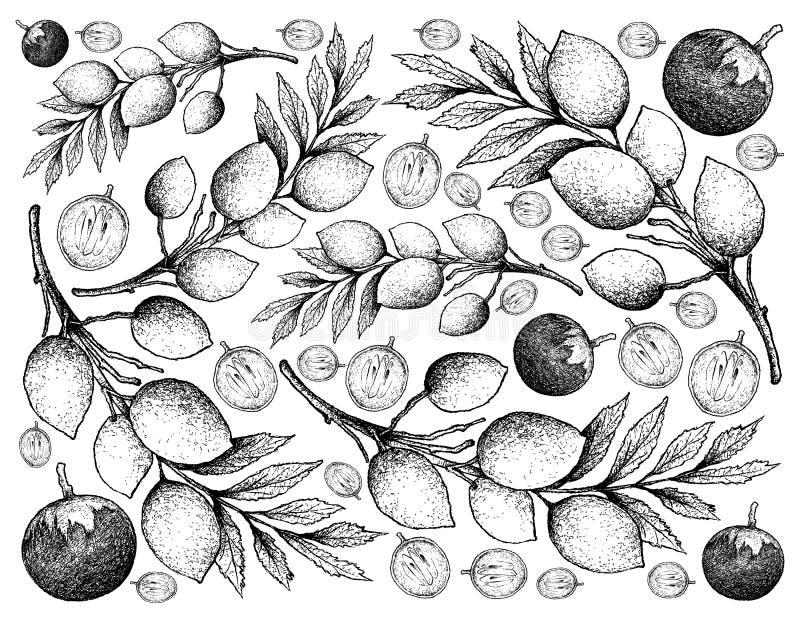 Fond tiré par la main caïmite et des fruits de Hygrophilus d'Elaeocarpus illustration libre de droits