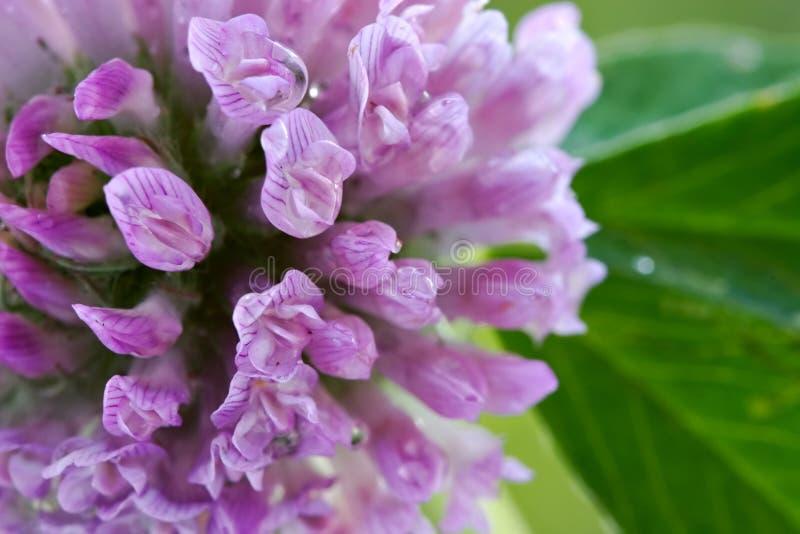 Fond-trèfle Floral Images libres de droits