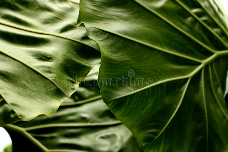 Fond tropical de texture de feuille, rayures de feuillage vert-foncé image stock
