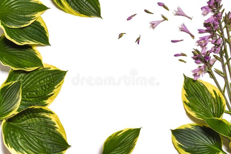 Fond tropical Le plantaginea de Hosta laisse d'isolement sur le fond blanc disposition minimale, concept d'été Fond blanc W photo libre de droits