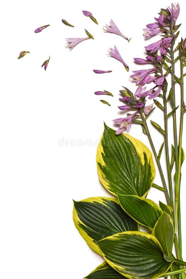 Fond tropical Le plantaginea de Hosta laisse d'isolement sur le fond blanc disposition minimale, concept d'été Fond blanc W images libres de droits