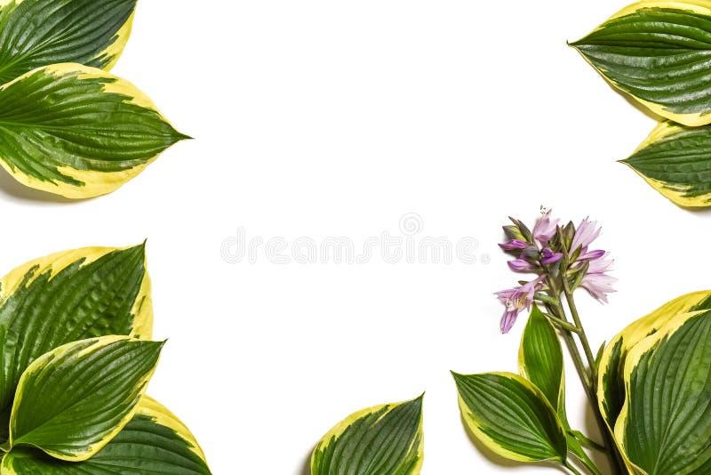 Fond tropical Le plantaginea de Hosta laisse d'isolement sur le fond blanc disposition minimale, concept d'été Fond blanc W photographie stock