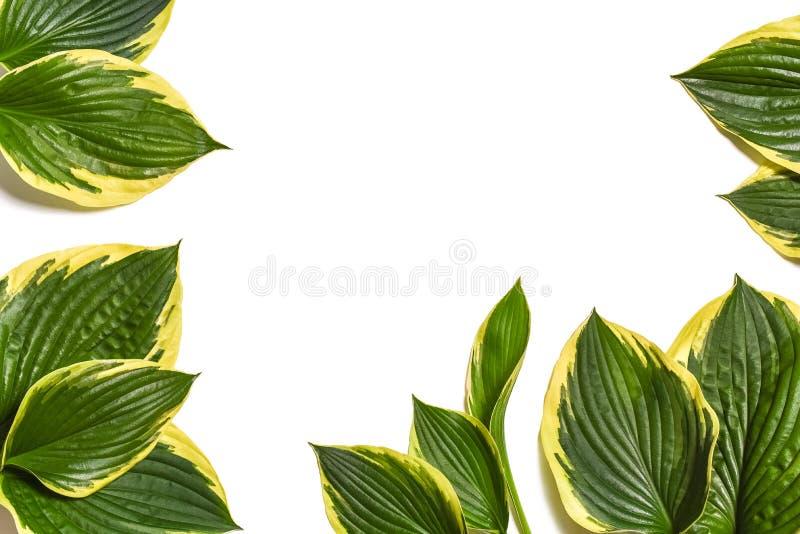 Fond tropical Le plantaginea de Hosta laisse d'isolement sur le fond blanc disposition minimale, concept d'été Fond blanc W photographie stock libre de droits