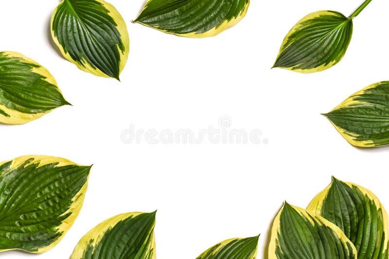 Fond tropical Le plantaginea de Hosta laisse d'isolement sur le fond blanc disposition minimale, concept d'été Fond blanc W image stock