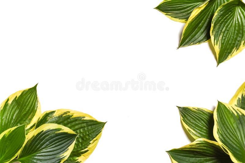 Fond tropical Le plantaginea de Hosta laisse d'isolement sur le fond blanc disposition minimale, concept d'été Fond blanc W photos stock