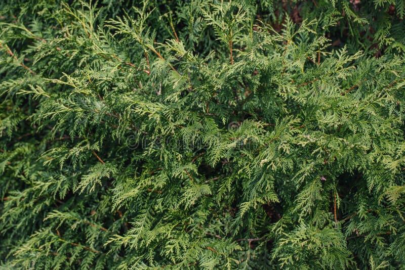 Fond vert abstrait de thuja Arbre conif?re toujours d'actualit? L'Arborvitae laisse le plan rapproché de texture Arbre ornemental images libres de droits