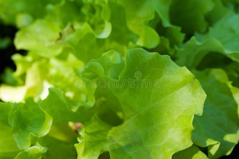 Fond vert d'abrégé sur laitue images stock