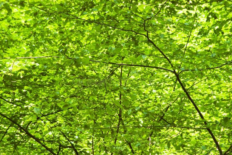 Fond vert de feuillage image libre de droits