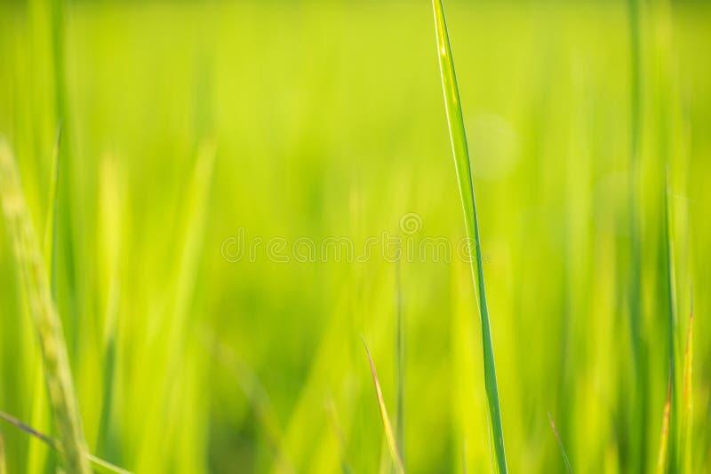 Fond vert de feuille de riz de tache floue images libres de droits