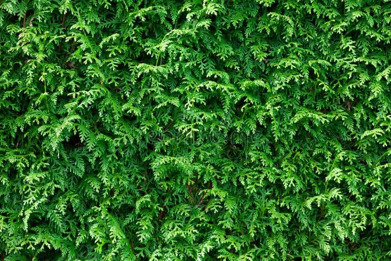 Fond vert de haie de Thuja photo stock
