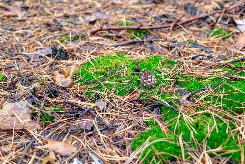 Fond vert de mousse avec le cône et les aiguilles de pin photo libre de droits