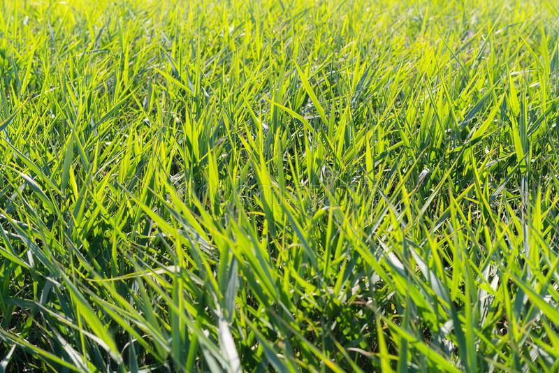 Fond vert de précipitations de roseaux Broussaille de canne soufflant dans le vent Herbe sauvage à côté de l'eau Touffe d'herbe photo stock