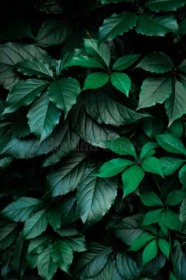 Fond vert-foncé de feuille de feuillage photo stock