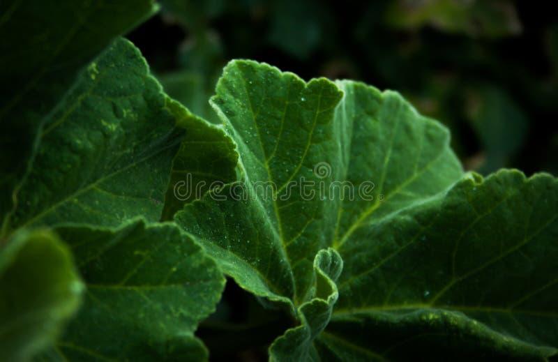 Fond vert-foncé de feuilles photos libres de droits