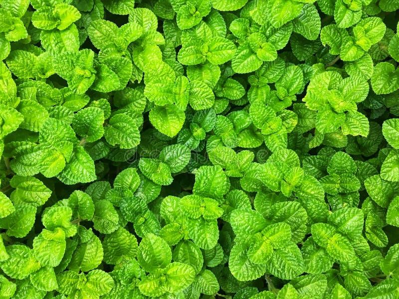 Fond vert frais de feuilles de menthe de pomme photo libre de droits