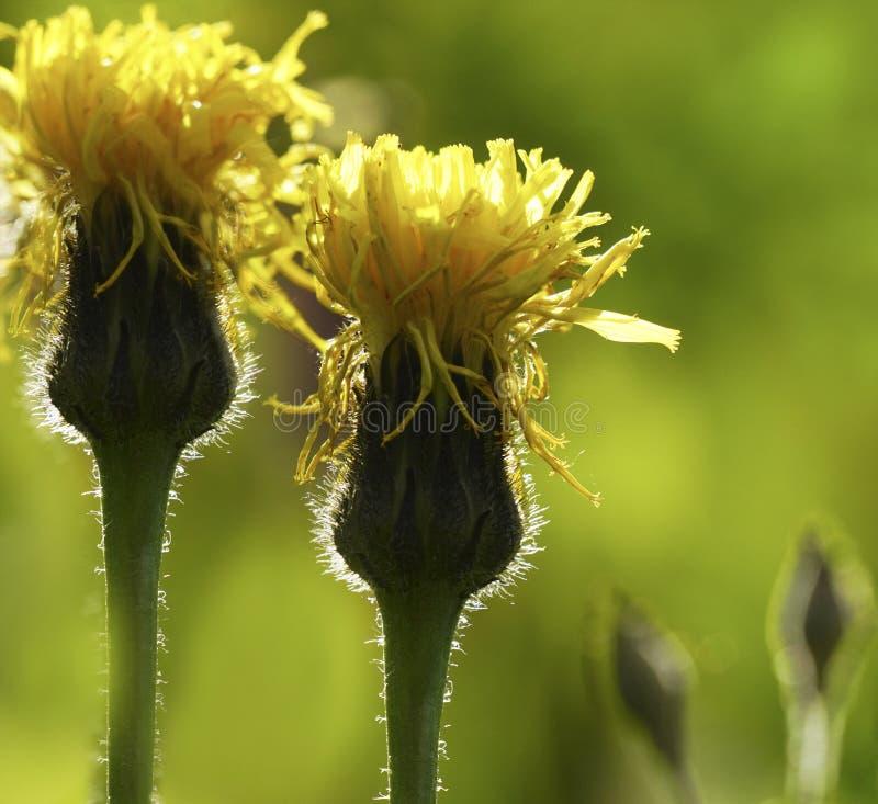 Fond vert jaunâtre floral Rayons du ` s de Wildflowers au soleil Plan rapproché Orientation molle photographie stock libre de droits