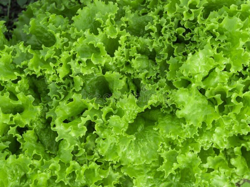 Fond vert normal Feuilles vertes de salade de laitue closeup Nourriture végétarienne saine, fraîche, concept de régime photo stock