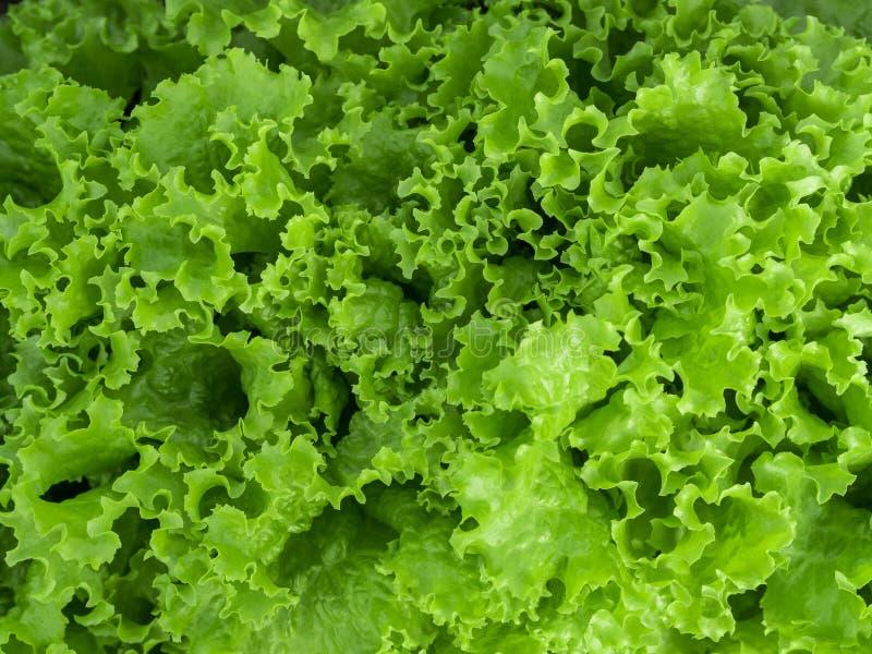 Fond vert normal Feuilles vertes de salade de laitue closeup Nourriture végétarienne saine, fraîche, concept de régime image libre de droits