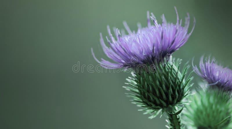 Fond vert-violet floral Fleur épineuse pourpre de chardon Une fleur pourpre sur un fond vert closeup image stock