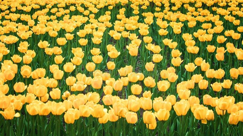 Fond vertical de tulipes jaunes, bannière Tulipes colorées dans le jardin d'agrément, arborétum Parc de lit de fleur au printemps photographie stock