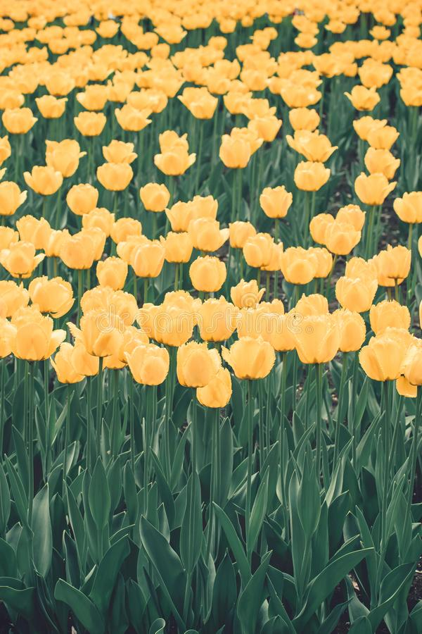 Fond vertical de tulipes jaunes Tulipes colorées dans le jardin d'agrément, arborétum Parc de lit de fleur au printemps photos stock