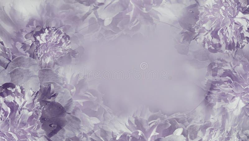 Fond violet-clair floral Plan rapproché pourpre de piones de pétales de fnd de fleurs Carte de voeux Place pour le texte images stock