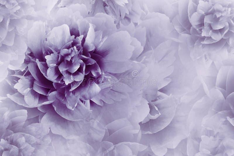 Fond violet floral Fleurs de pivoines en gros plan sur un fond mauve-clair tramé transparent Carte de voeux image libre de droits