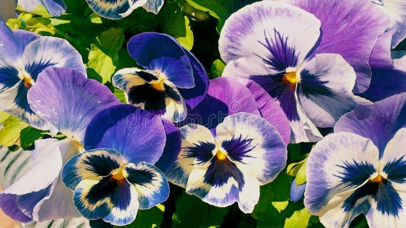 Fond violet lumineux de fleurs de pensées images libres de droits
