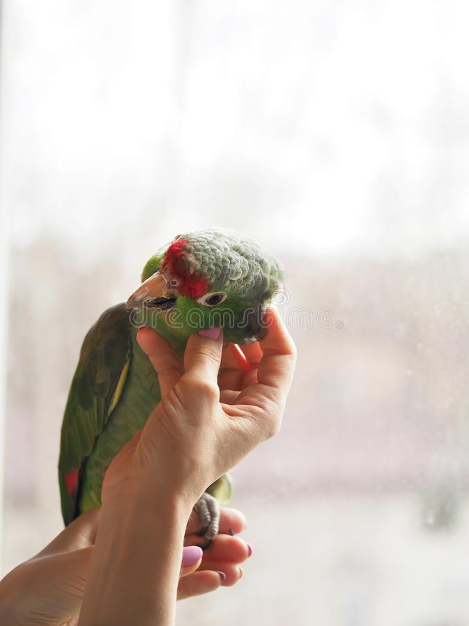 Fondled the parrot sitting on the hand. stock photos