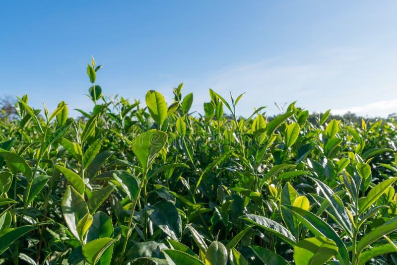 Fondo único con las hojas de té verdes frescas, colina del té parte 12 de la producción del té imagenes de archivo