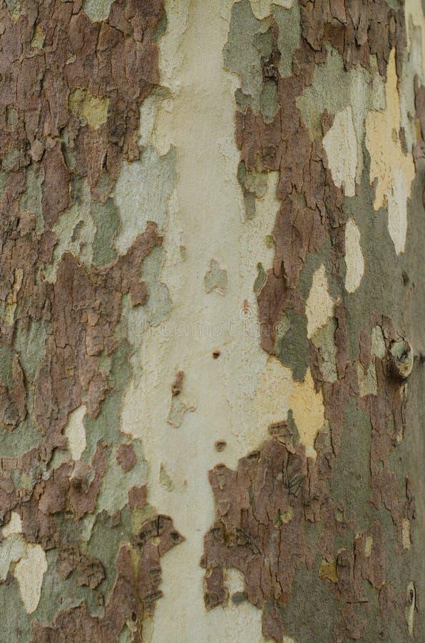 Fondo abigarrado o textura, primer de la corteza y del tronco de árbol del sicómoro imagen de archivo libre de regalías