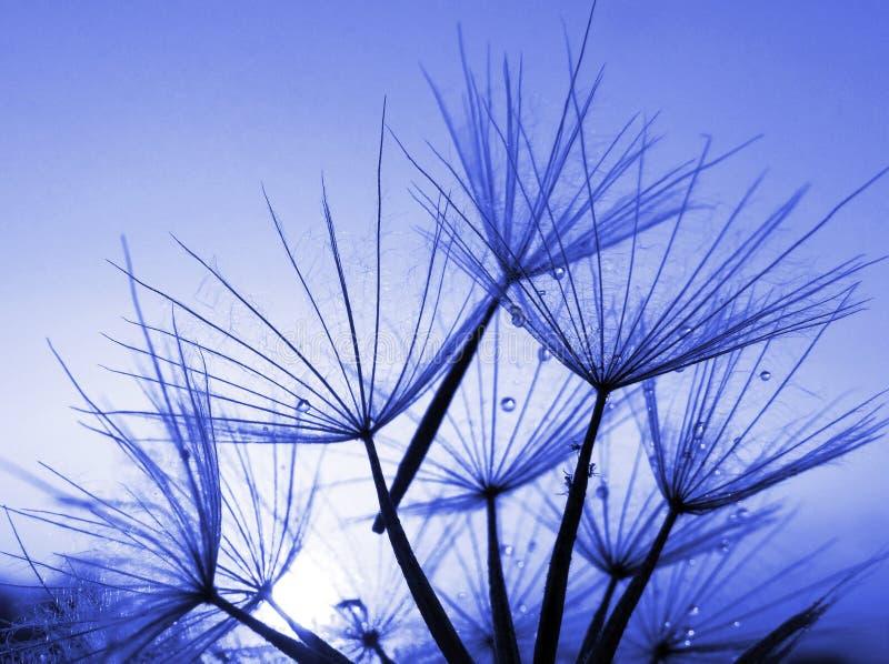 Fondo abstracto azul de la flor del diente de león, primer fotos de archivo libres de regalías