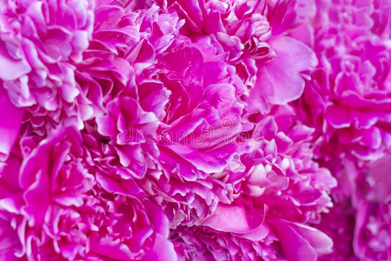 Fondo abstracto carmesí de pétalos de una flor de la peonía fotografía de archivo