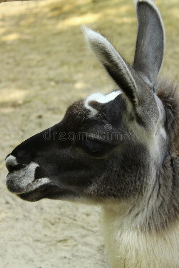 Fondo abstracto de la fauna Retrato lindo de Lama Close Up negro Lama Glama mam?fero Alpaca, cierre para arriba fotos de archivo