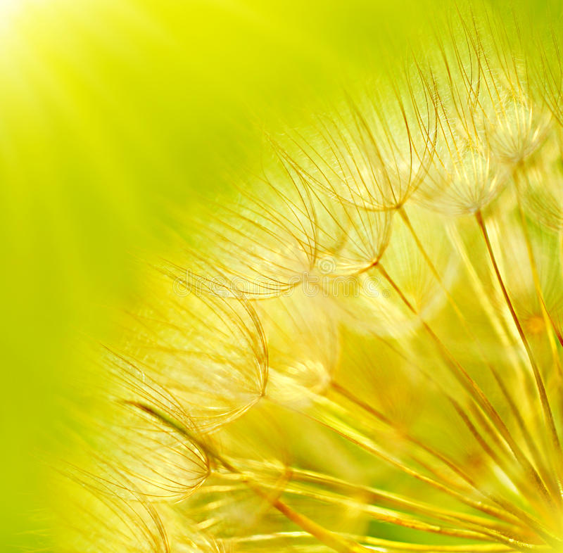 Fondo abstracto de la flor del diente de león fotografía de archivo