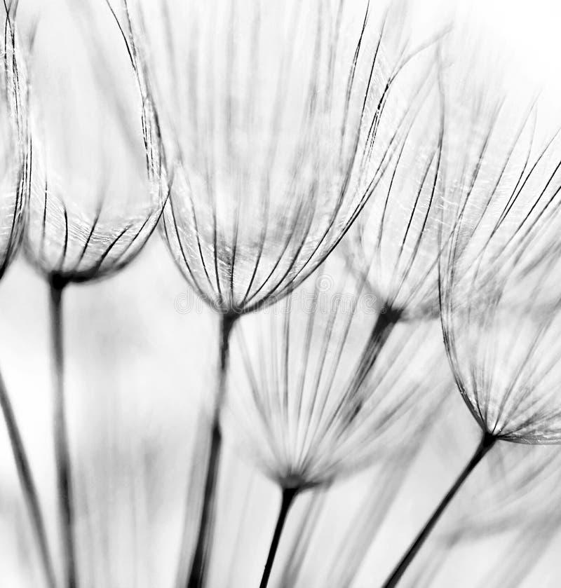Fondo abstracto de la flor del diente de león imagen de archivo