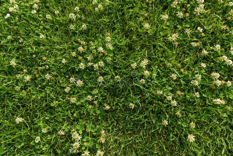 Fondo abstracto de la textura, hierba verde clara natural con las flores blancas del trébol, alfombra del césped del primer, visi foto de archivo libre de regalías