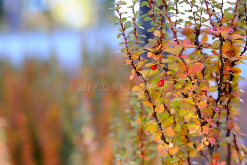 Fondo abstracto del otoño con las bayas salvajes fotografía de archivo