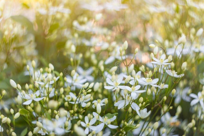 Fondo abstracto floral de la naturaleza primer de muchas del pequeño flores blancas en luz del sol imagen de archivo libre de regalías