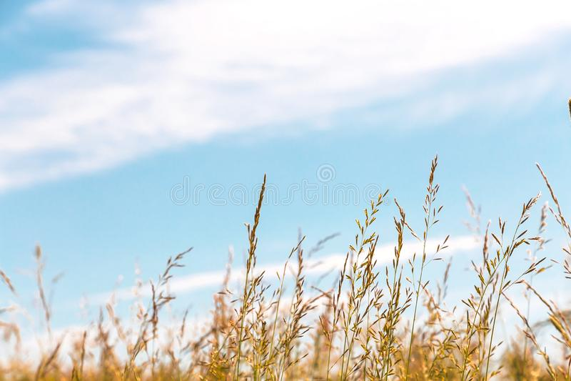 Fondo agrícola vegetal del verano del extracto natural con el espacio de la copia La hierba en los prados y los pastos es de oro  imagenes de archivo