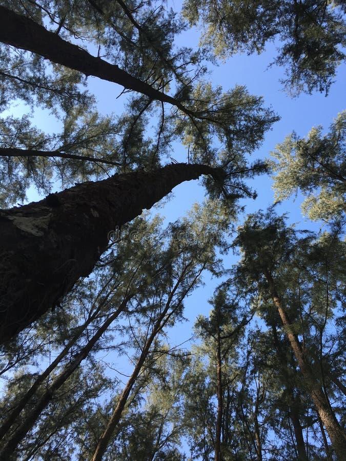 Fondo agradable del árbol de pino fotos de archivo libres de regalías