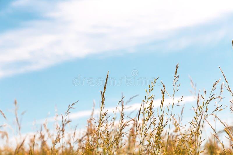 Fondo agricolo di verdure di estate dell'estratto naturale con lo spazio della copia L'erba nei prati e nei pascoli è dorata dent immagini stock